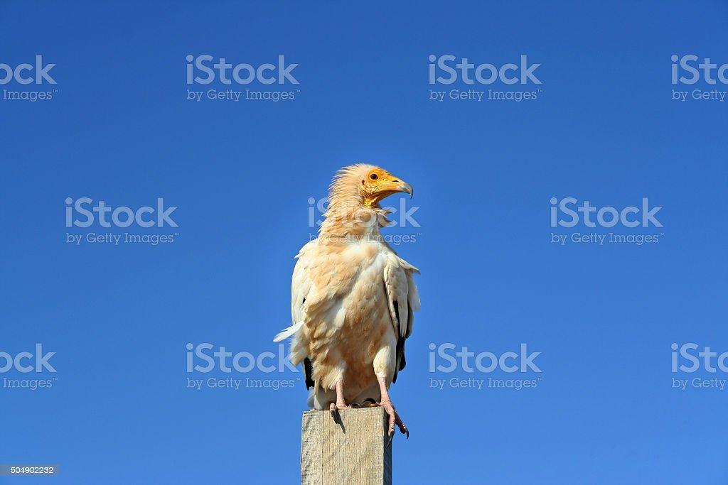Egyptian vulture on a pole against blue sky stock photo