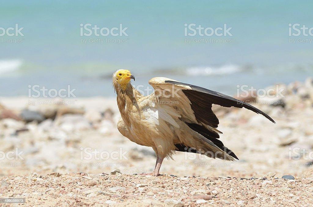 Egyptian vulture on the beach of Arabian sea, Socotra stock photo
