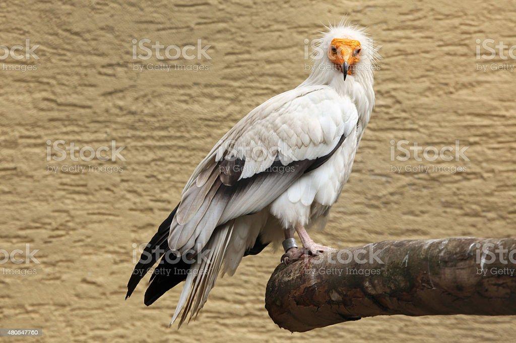 Egyptian vulture (Neophron percnopterus). stock photo