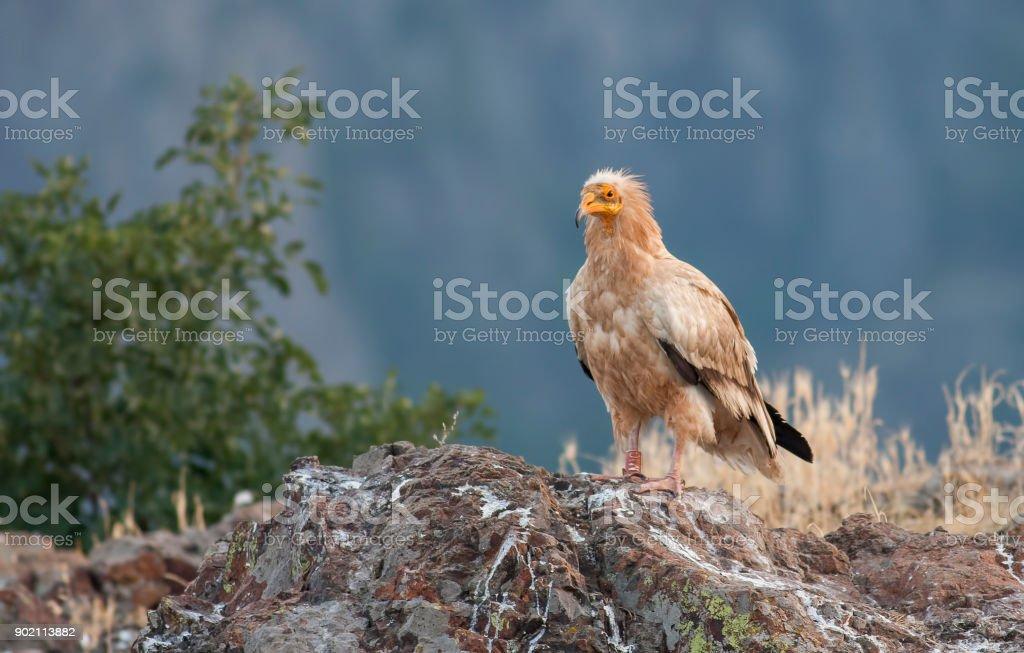 Egyptian Vulture stock photo
