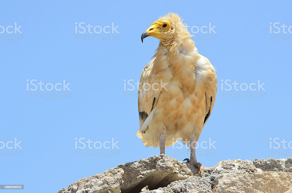 Egyptian vulture (Neophron Percnopterus) sits on the stone, Socotra, Yemen stock photo