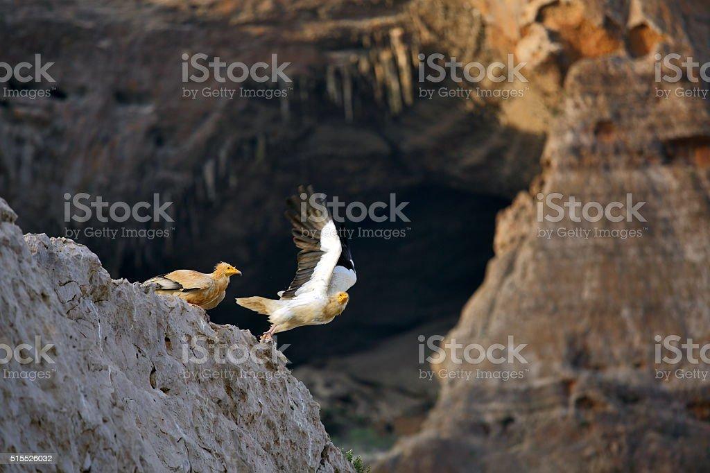 Egyptian Vulture, Socotra Island stock photo