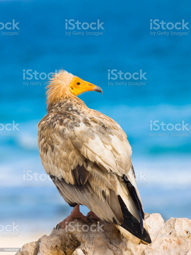 Egyptian Vultures stock photo