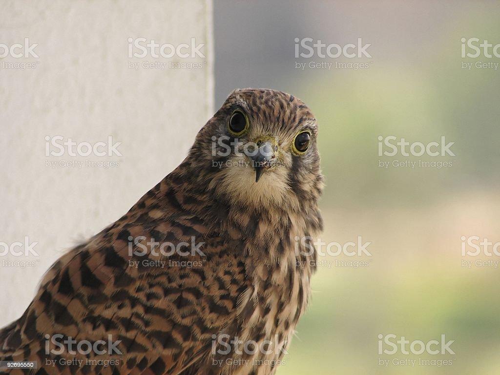 Egyption Hawk stock photo