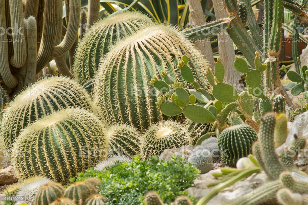 """Ehinokaktus of Gruson (Echinocactus grusonii), or """"Golden ball"""" – 4 copies of the spherical Mexican cacti the age of 50, a height of 0.8 m and a diameter up to 1 m stock photo"""