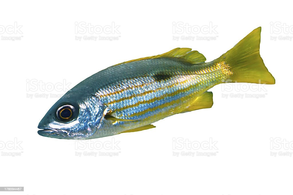 Ehrenberg's snapper stock photo