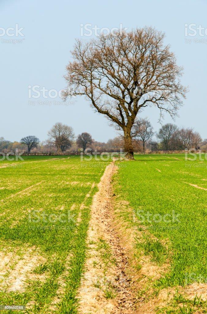 Eiche im Getreidefeld stock photo