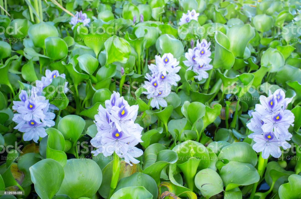 Eichhornia crassipes or water hyacinth flowers stock photo