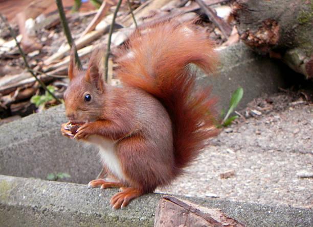 Eichhörnchen mit Appetit stock photo