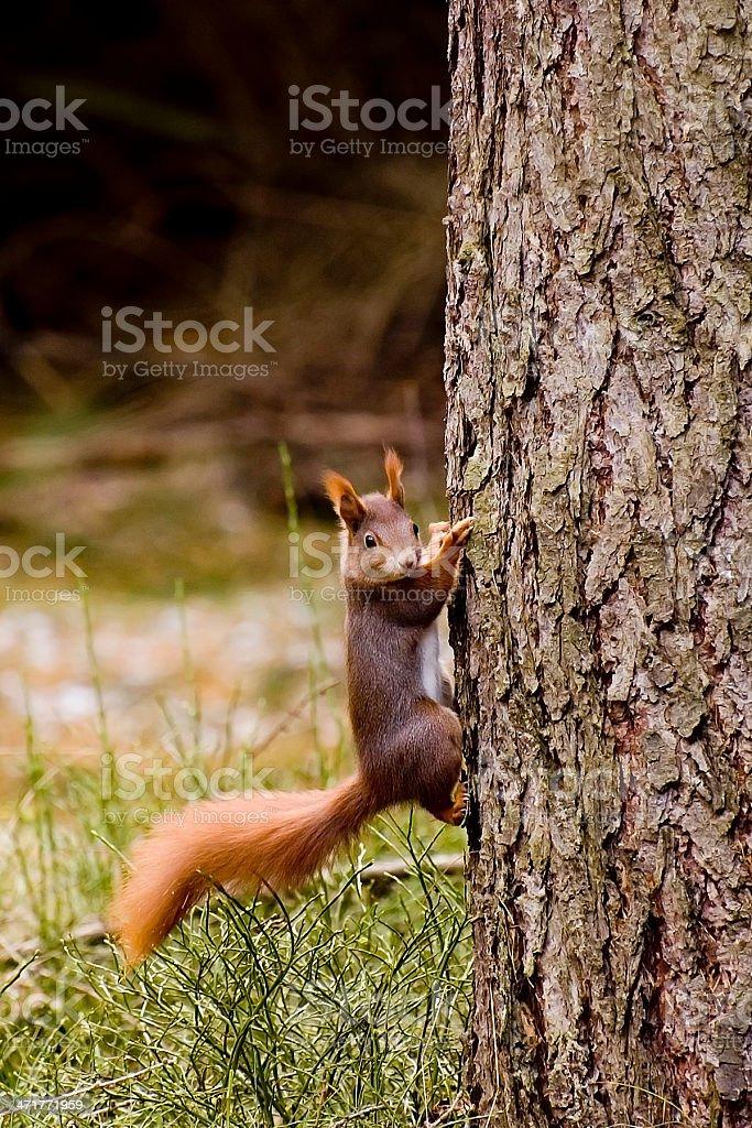 Eichhörnchen royalty-free stock photo