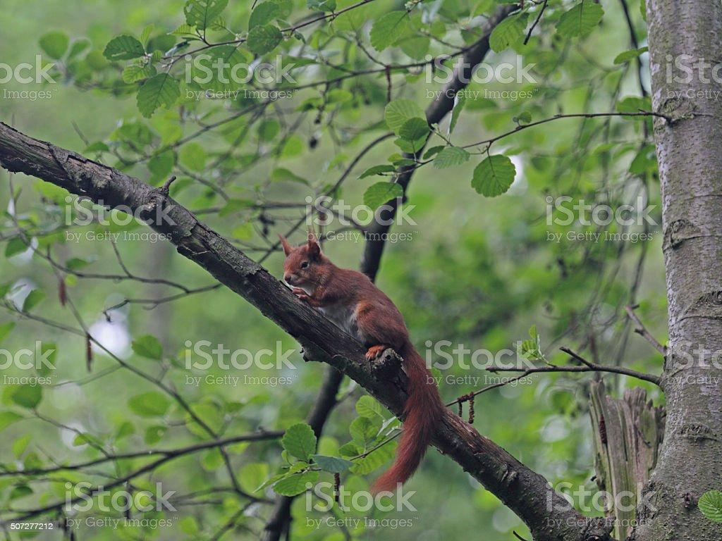 Eichhörnchen stock photo
