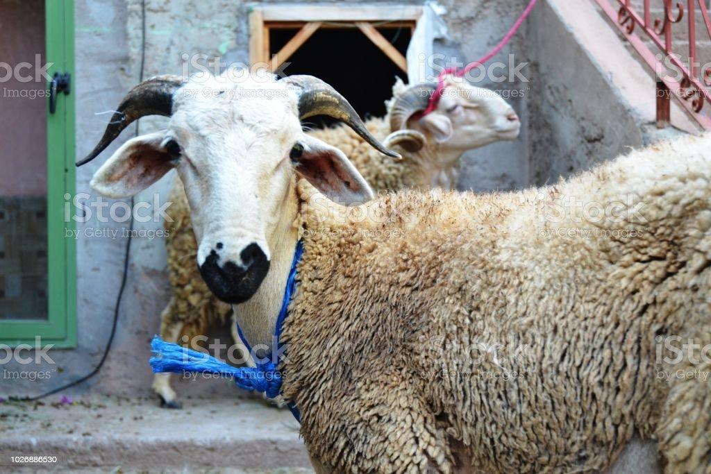 Eid Al-Adha ( the sacrifice feast) stock photo
