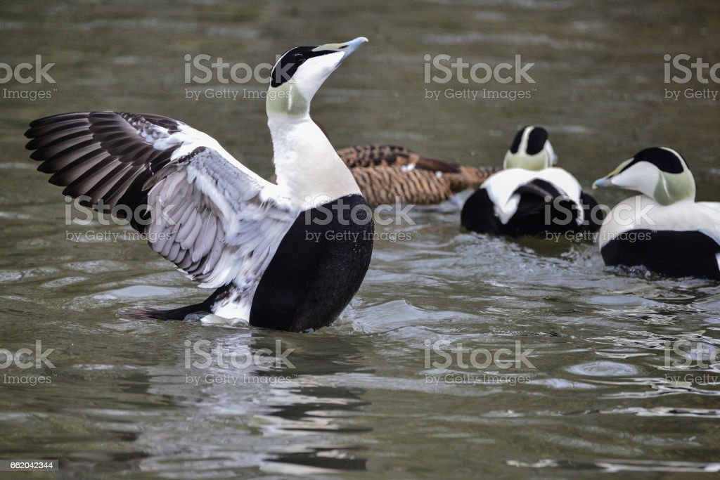 Eider duck bird Somateria Mollissima in Spring in natural habitat stock photo