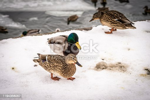 Eider duck couple looking for food in the snow