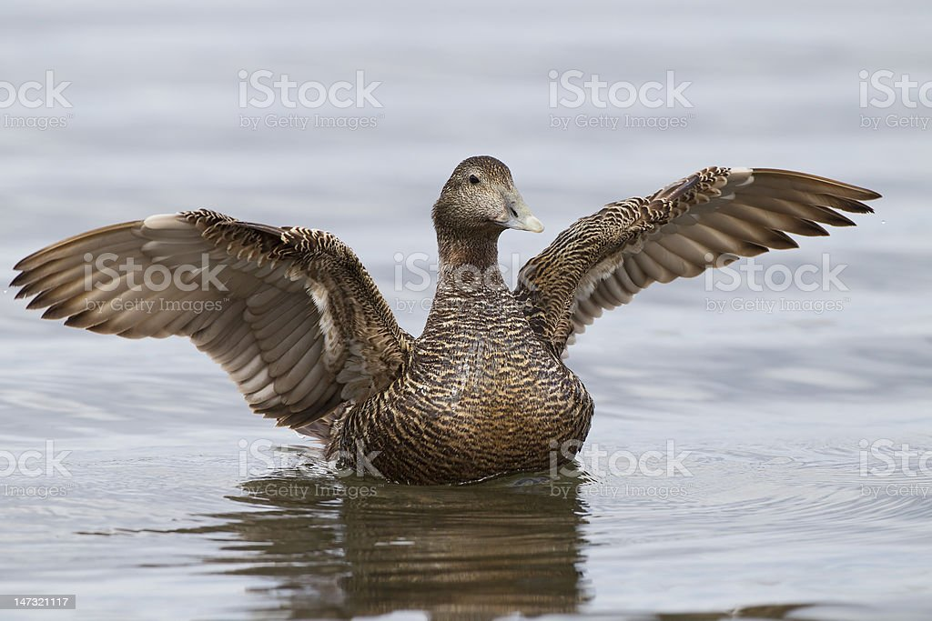Eider Duck falpping her wings stock photo