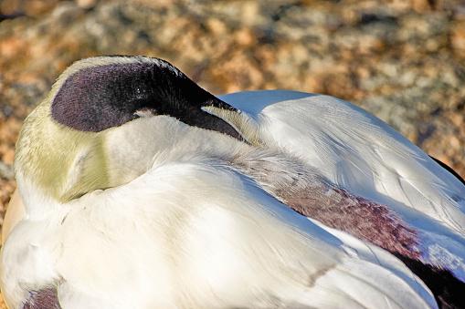 A male eider duck resting on a gravel beach.