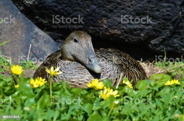 Foto de Eider Duck No Ninho e mais fotos de stock de Afloramento