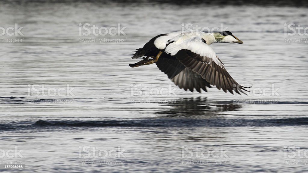 Eider Duck on take off Svalbard Norway stock photo