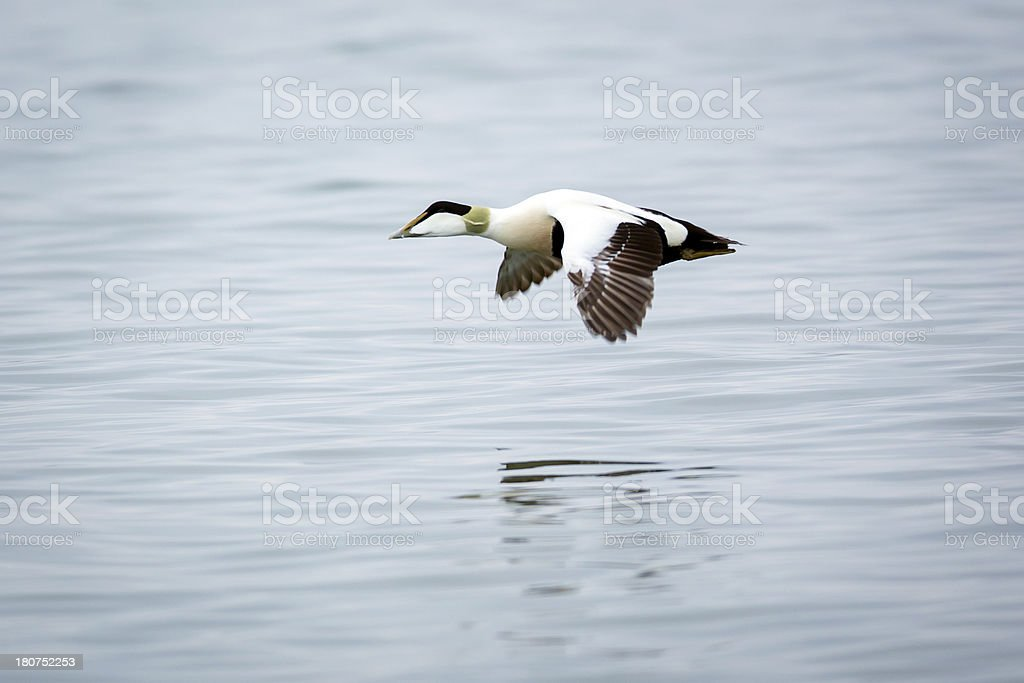Eider Duck (Somateria mollissima) stock photo