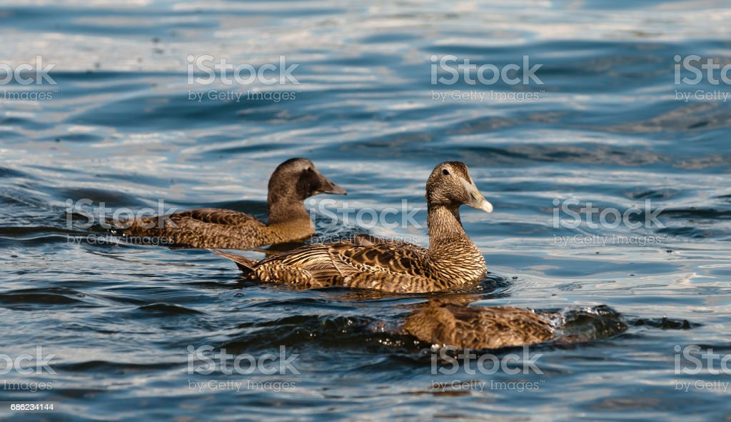 Eider Duck stock photo