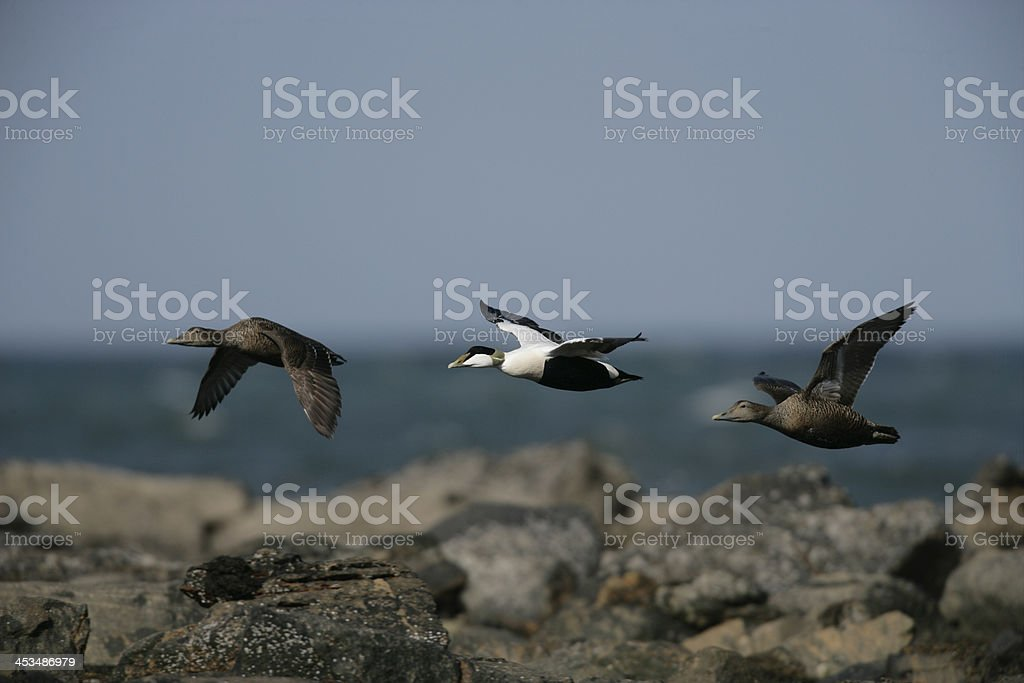 Eider duck, Somateria mollissima stock photo