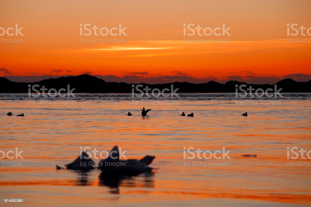 Eider ducks at sunset stock photo