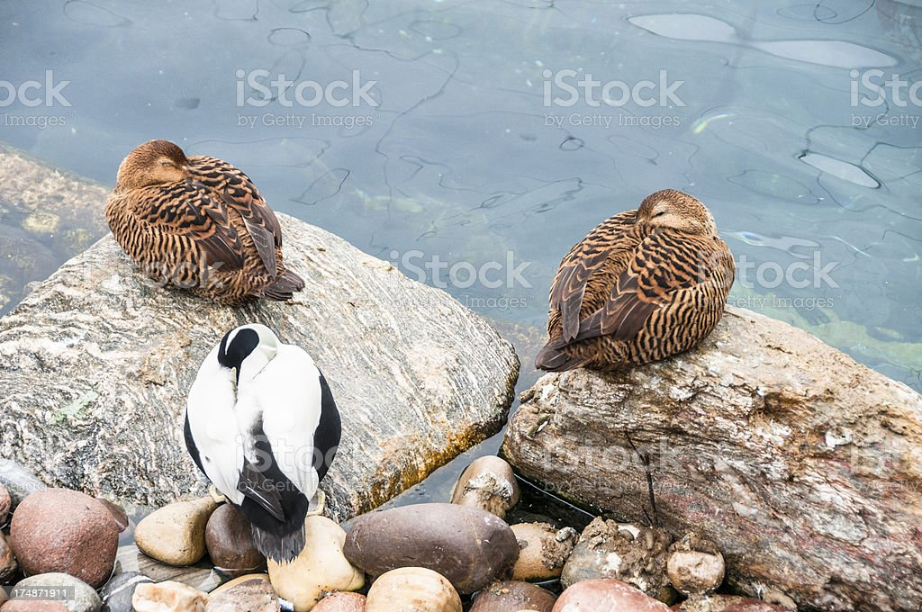 Eider Ducks stock photo