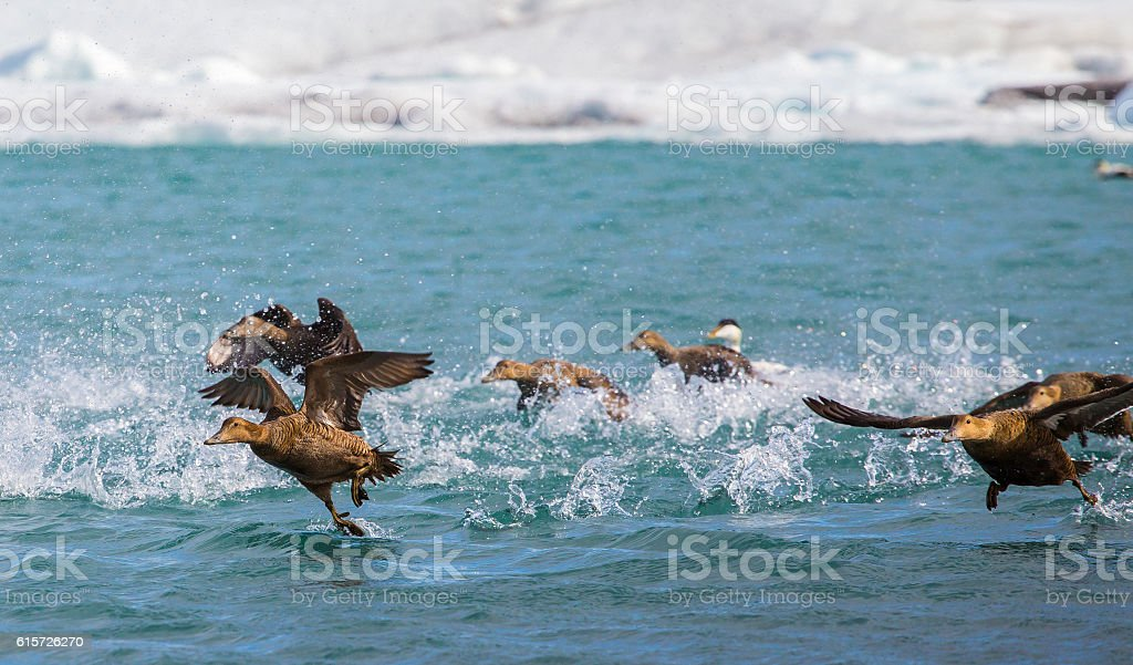 Eider ducks taking off for flight on an arctic lake stock photo