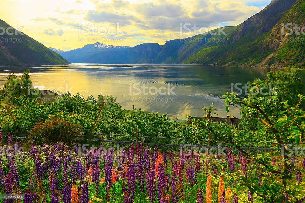 Eidfjord - fjord and lupines at sunset, Norway, Nordic countries stock photo