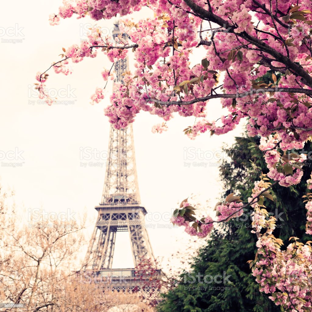 Eiffel Tower and Cherry Blossoms stock photo