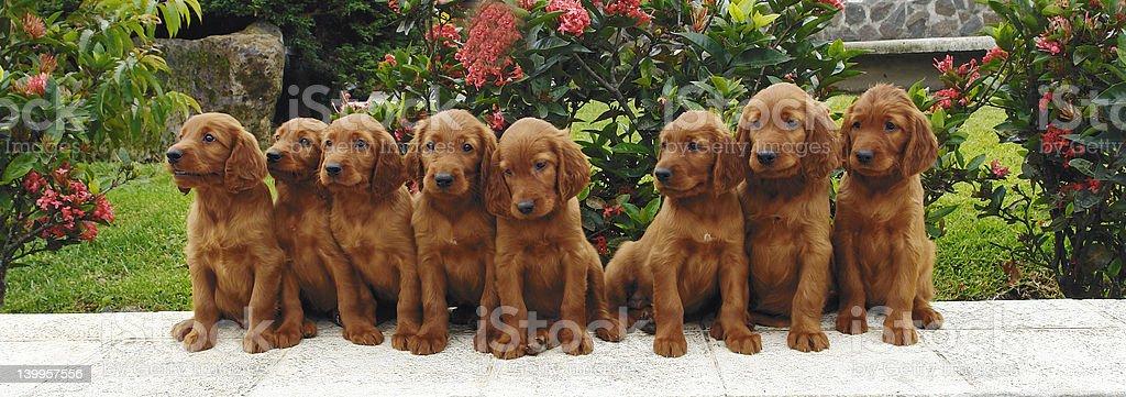 Eight irish setter puppies stock photo