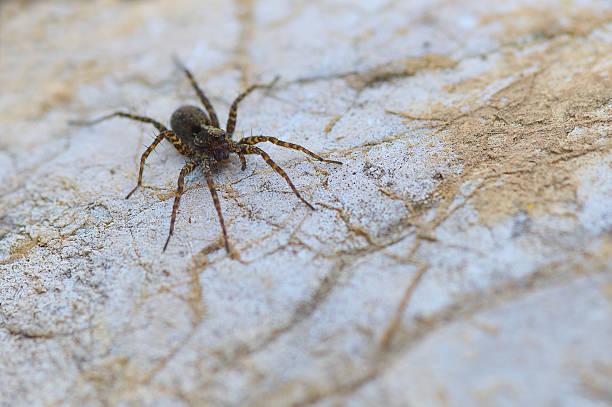 Oito pernas marrom wolf-aranha sobre uma rocha close-up - foto de acervo