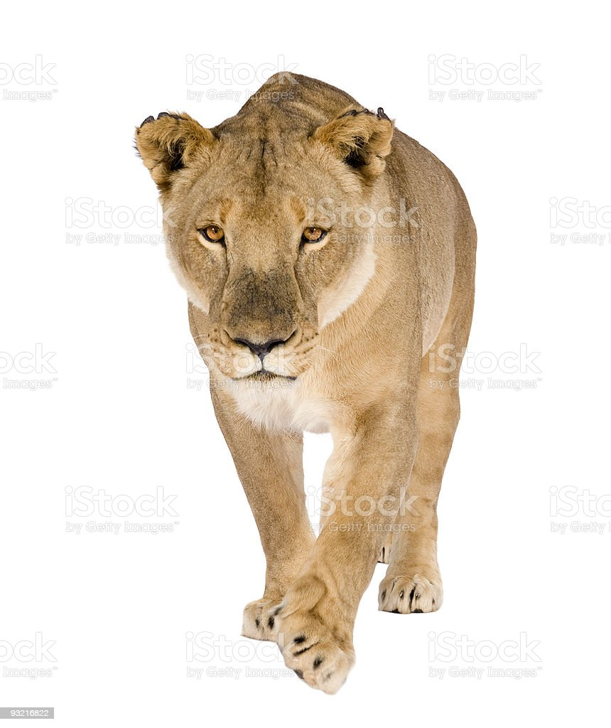 Eight year old lioness Panthera leo on white background stock photo