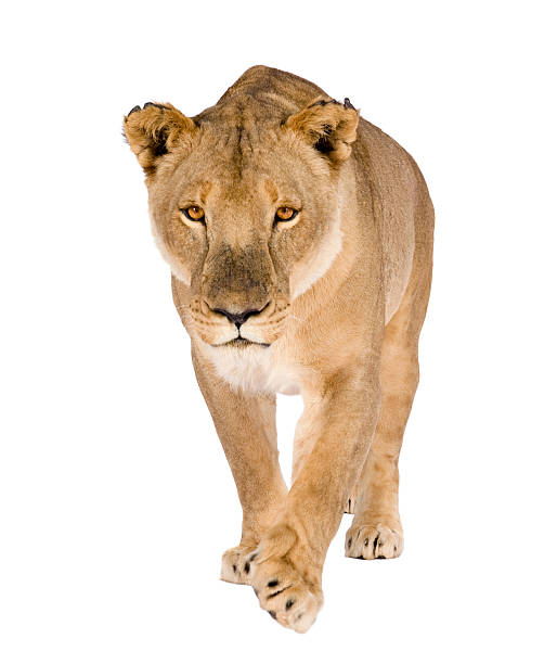 Royalty Free Lioness Pictures, Images and Stock Photos ...