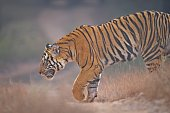 Male cub of a female tiger named Dotty in Bandhavgarh. These cubs are quite big and strong. Crossing the road