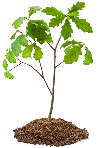 Eight-year oak tree Eight-year oak tree. Isolated on white. sapling stock pictures, royalty-free photos & images