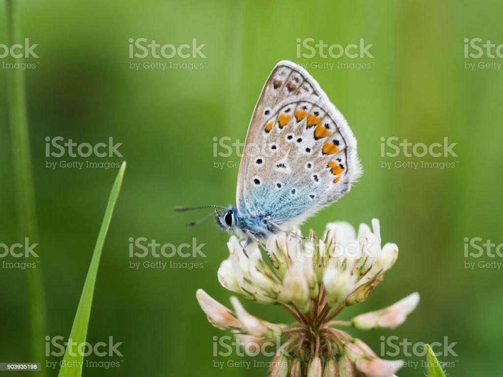 Ein kleiner Bläuling auf einer Blüte. stock photo