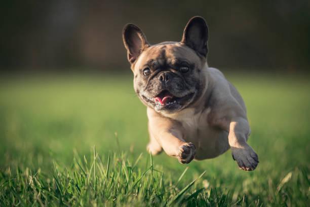 ein mops läuft über eine wiese - dog jumping stock photos and pictures