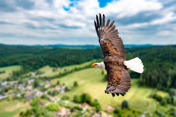 ein weißkopfseeadler fliegt in großer höhe am himmel und sucht beute. es sind wolken am himmel aber es herrscht klare sicht bei strahlender sonne. - eagle stock photos and pictures