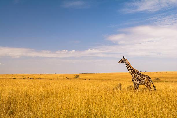 Eine Giraffe in der Masai Mara – Foto