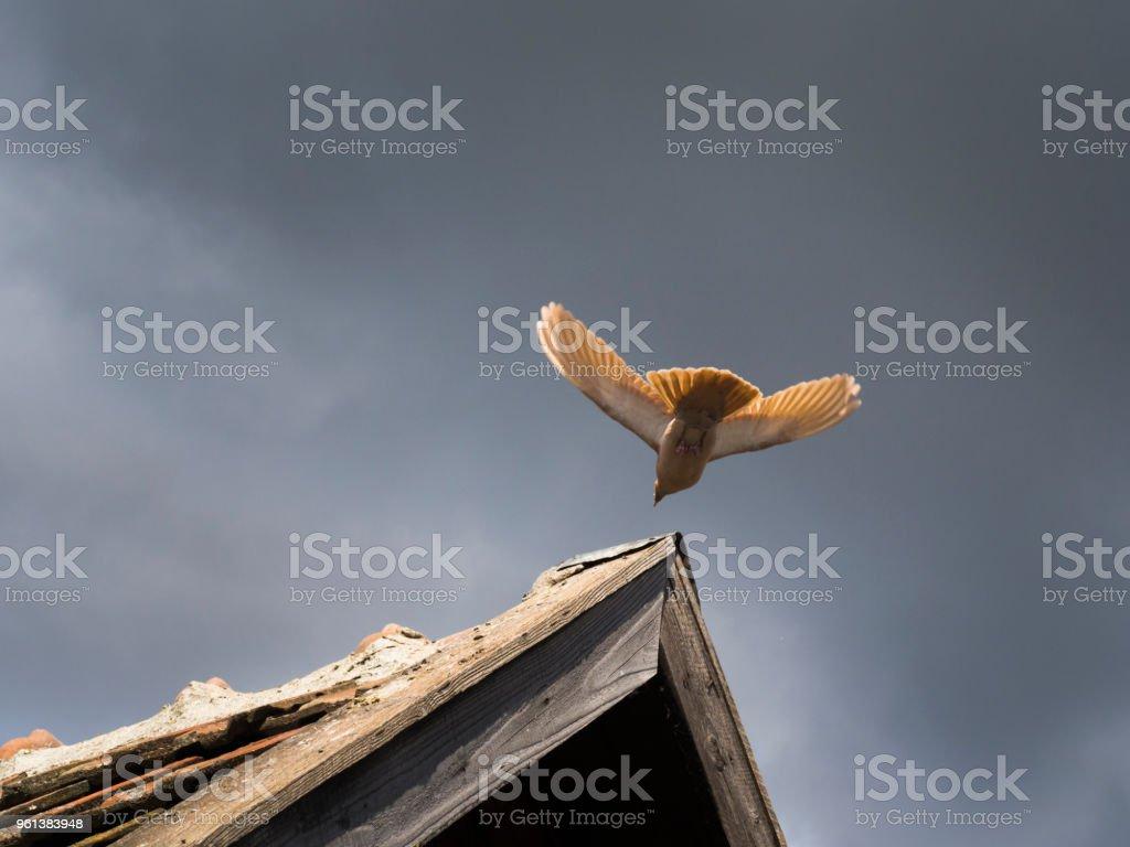 Eine Taube fliegt auf ein Dach. stock photo