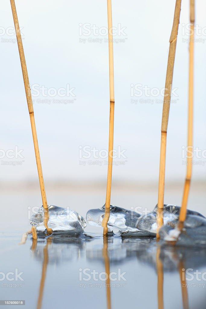 Eis Jacket-Reeds auf Eis Lizenzfreies stock-foto