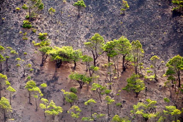 El Hierro island landscape, pinetrees from above. stock photo