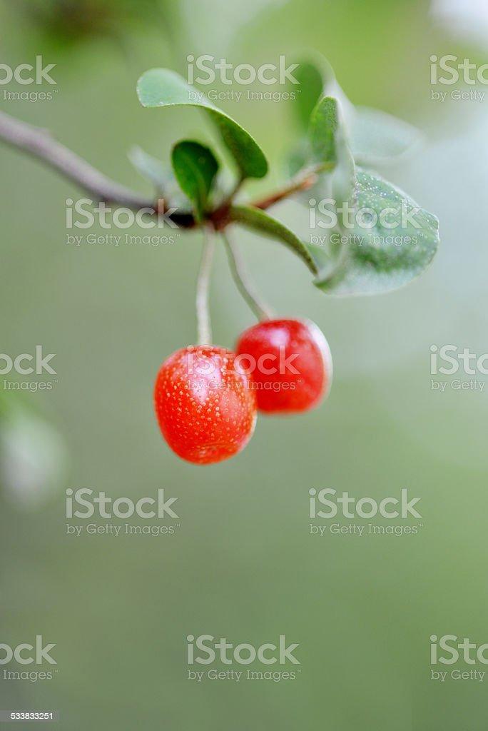 Elaeagnus red Berries stock photo