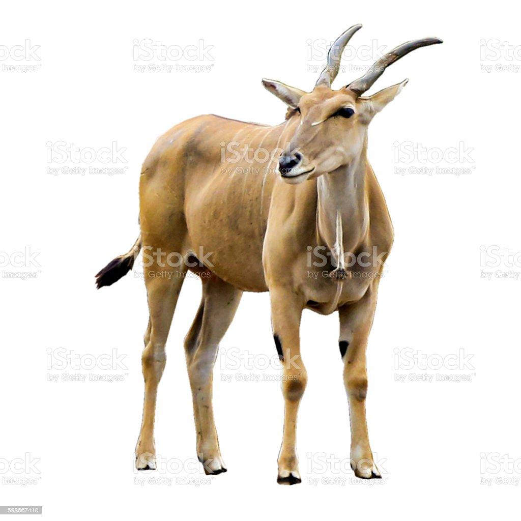 Elenantilope antelope  – Foto