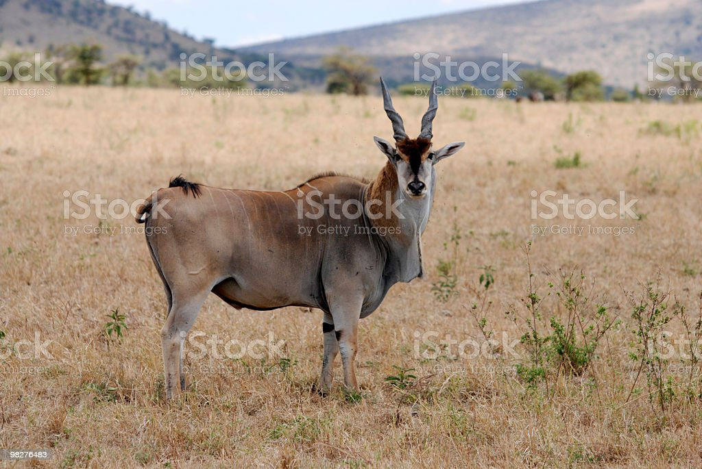 Eland, biggest antelope in the world royalty-free stock photo