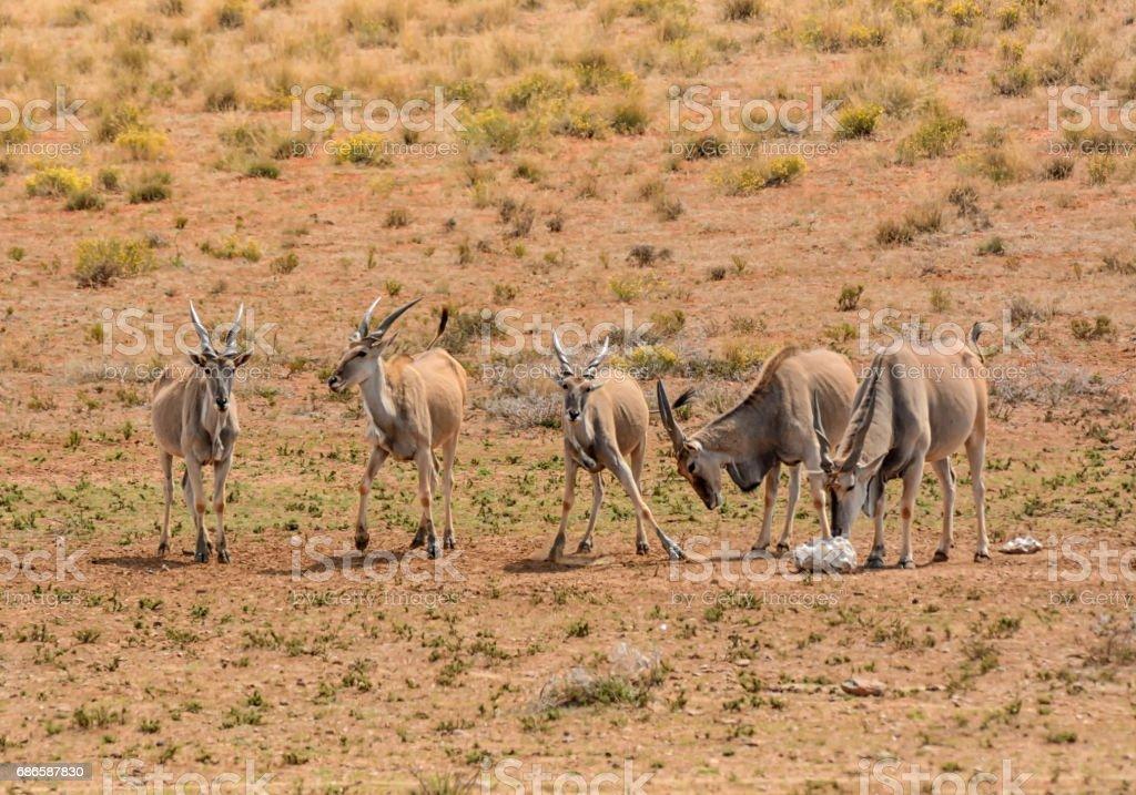 Eland Herd royalty-free stock photo