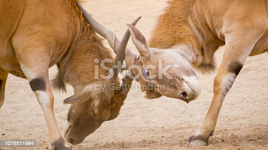 Elands are fighting