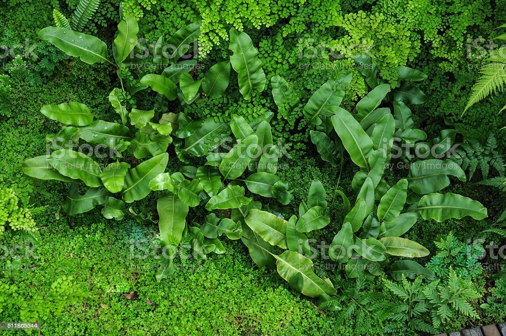 Elaphoglossum Fern and Maidenhair stock photo
