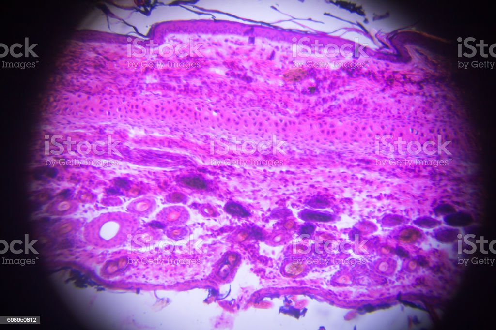 Photo Libre De Droit De Cartilage Elastique Au Microscope Banque D